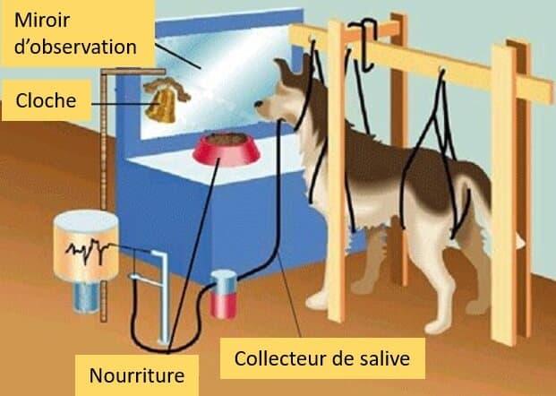 Schéma conditionnement Pavlov chiens