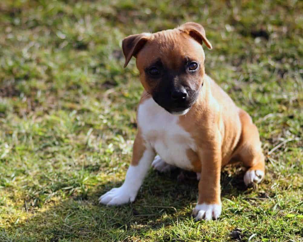 Chiot Boxer