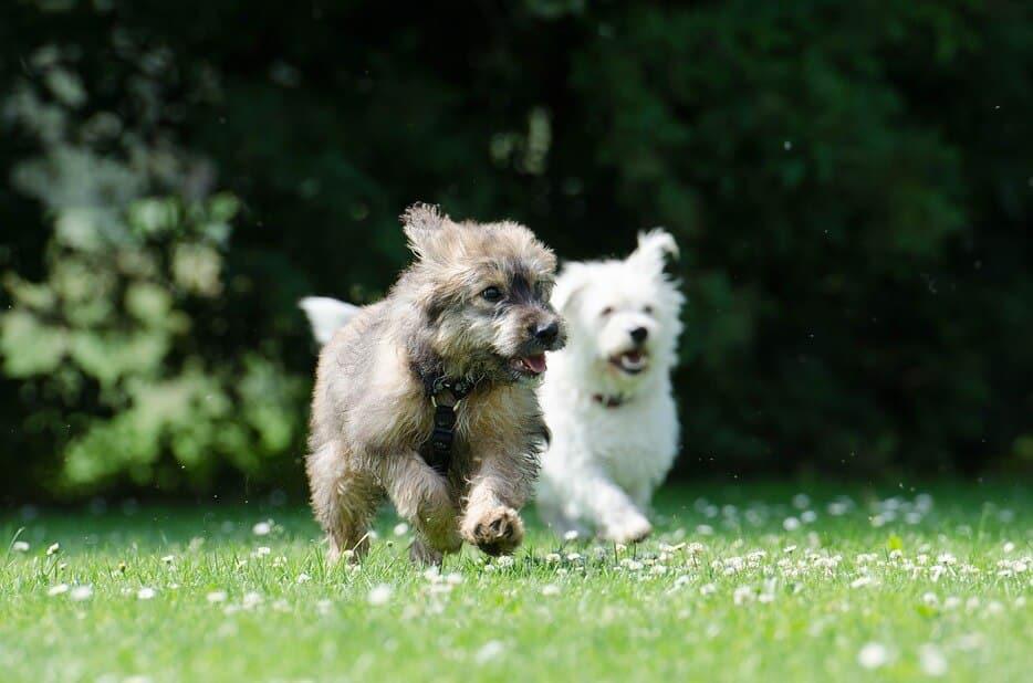 deux chiens qui jouent